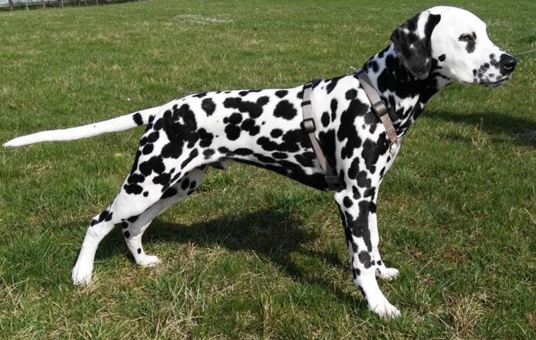 Dalmatiner 5 Monate